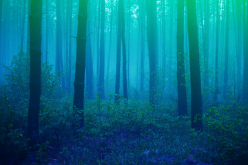 Wall Murals Forest Beautiful foggy forest with magic light in the early morning