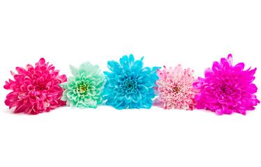Beautiful chrysanthemum flower isolated