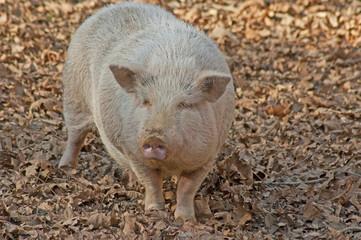 Close up Large white pig running around the barnyard.