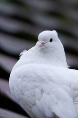 Schweizer Taube weiß