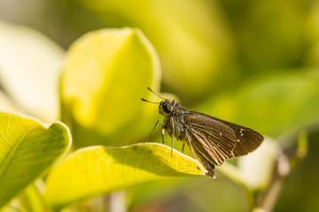 borbo cinnara (Hesperiidae) Butterfly on green leaf