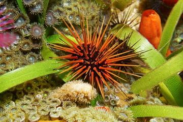 Underwater sea urchin Echinometra viridis