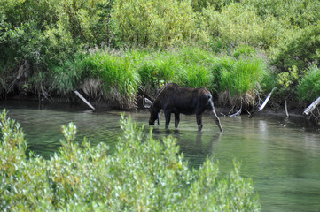 Fototapete - Moose in Grand Tetons National Park, Wyoming, USA