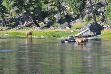 Fototapete - Wildlife in one of the many scenic landscapes of Yellowstone Nat