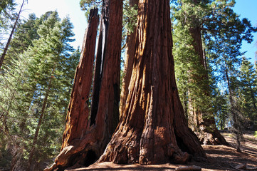 Wall Mural - One of the biggest Sequoia tree in the world, Sequoia National P