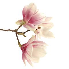 Wall Mural - magnolia