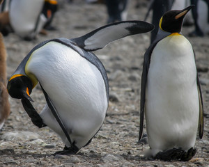 King penguins (Aptenodytes patagonicus) in Antarctica