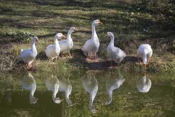White geese near the pond