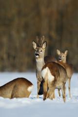 roe deer group in winter