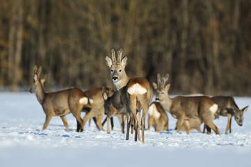 herd of roe deers in winter