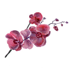 the orchid flowers watercolor isolated on the white background
