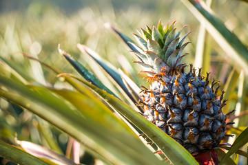 Pine apple in the field