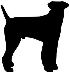 a standing fox terrier