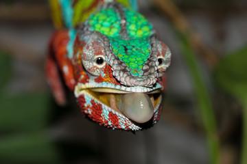 chameleon, furcifer paradalis, panther chameleon, Pantherchamäleon, Chamäleon