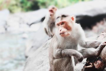 Goan monkey