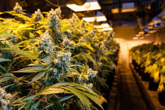 Marijuana in a grow room under lights