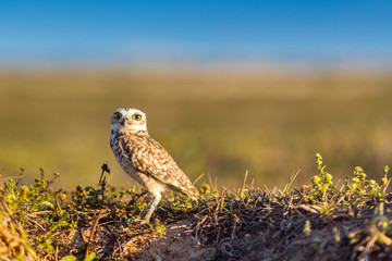 Burrowing Owl in a conservation park