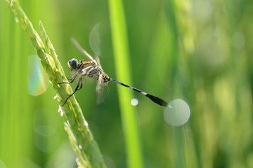 dragonfly resting on a paddy