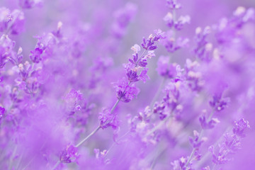 field lavender flowers morning