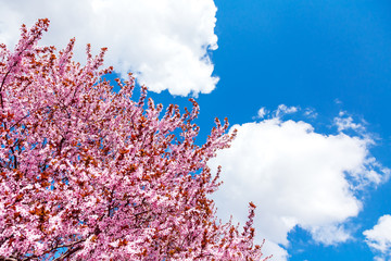 Pink blooming magnolia tree on a blue sky background