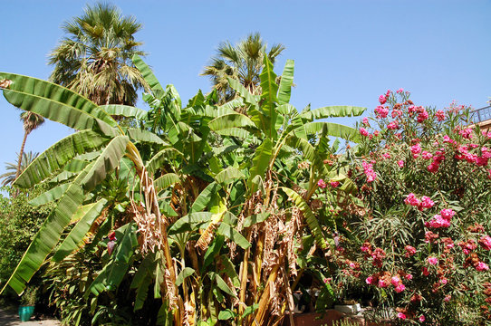 Morocco: banana and palm trees in the garden of the Bahia Palace