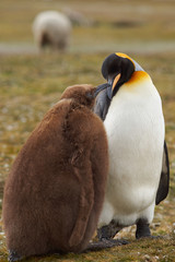 Adult King Penguin (Aptenodytes patagonicus) interacting with nearly fully grown and hungry chick at Volunteer Point in the Falkland Islands.