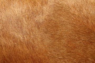 Alive cow fur skin macro