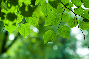 Summer branch with fresh green leaves background