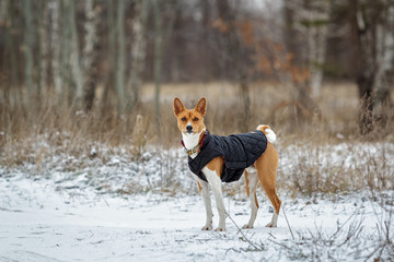 Basenji dog walks in the field. Winter is not a lot of snow on t