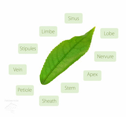 Leaf anatomy diagram