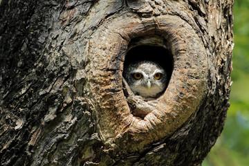 Owl hiding in a tree