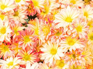 Chrysanthemum flowers in the garden ,pattern background