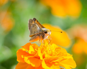 Moth on a Tiny Yellow Flower