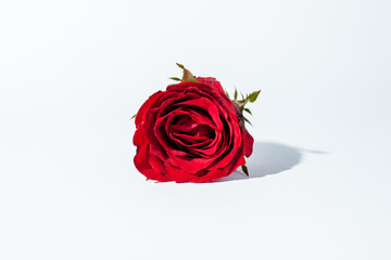 red rose for valentine day on the white background