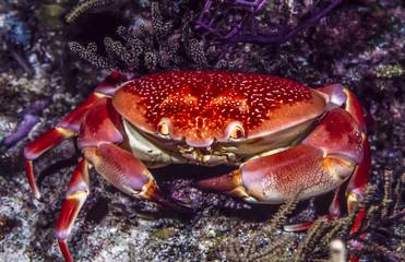 Carpilius corallinus or Batwing Coral Crab