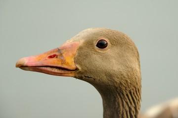 Wild goose (anser anser)