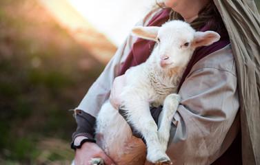 Fototapeta premium owieczka