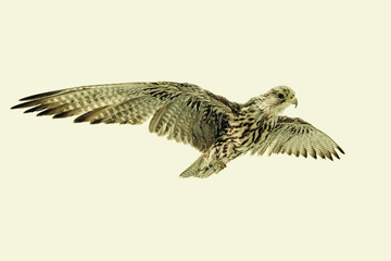 Saker Falcon in flight on neutral background