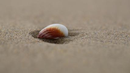 Beautiful white and orange shell