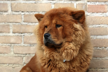 Photo closeup portrait of cute Chow Chow fluffy guardian dog pet square in profile with reddish smooth thick fur coat on sitting against masonry wall background, horizontal picture