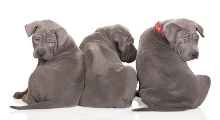 three thai ridgeback puppies backs