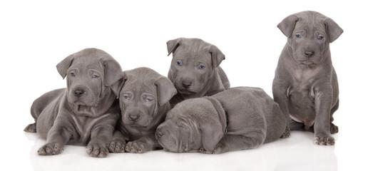 five thai ridgeback puppies