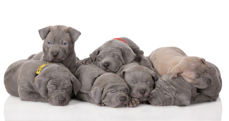 a pile of thai ridgeback puppies on white