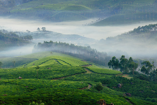 Morning foggy tea plantation in Munnar, Kerala, India.