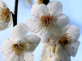大山 梅の花