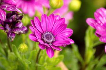 African Daisy flower, Osteospermum flower on blurred background