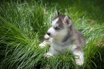 little siberian husky puppy lying on green grass