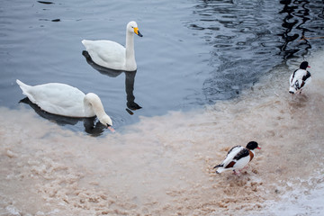 swans in the frozen pond