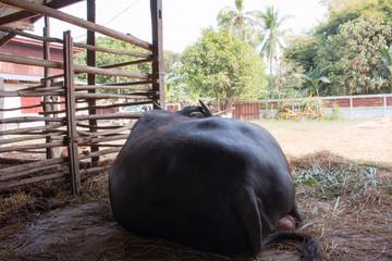 The backside of a large  buffalo