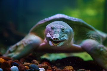 smiling long-nosed turtle swimming under water on a black background